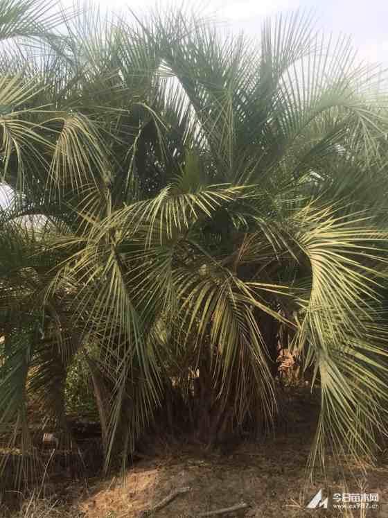 布迪椰子多少钱一棵   布迪椰子批发供应
