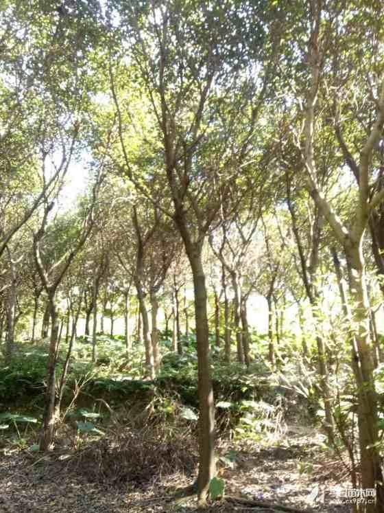 优质小叶榕树多少钱一棵 漳州漳浦县小叶榕产地直发