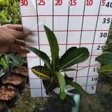 彩霞变叶木多少钱一棵   30公分彩霞变叶木杯苗