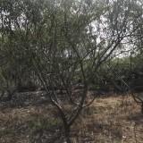脆桃树苗多少钱一棵  脆桃小苗基地批发