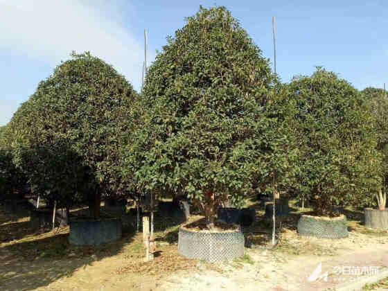 金桂树苗多少钱一棵 哪里有卖金桂树苗