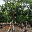 福建黄花风铃木出售 行情10公分 12公分18公分黄花风铃木价格
