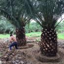 精品加拿利海枣树直销 杆高2米2.5米3米