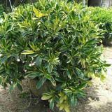 1米高金叶非洲茉莉盆栽价格 非洲茉莉球种植基地