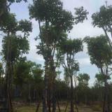 腊肠树出售 地径20公分腊肠树多少钱