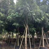 福建腊肠树价格行情 腊肠树基地