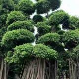 福建哪里批发榕树盆景 造型大榕树苗木价格