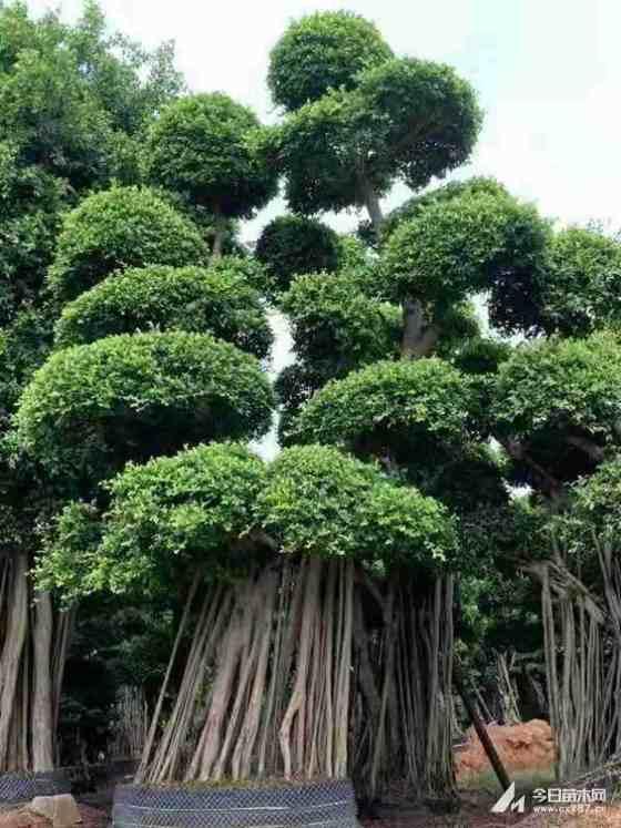 造型榕树盆景价格 福建造型榕树桩头批发
