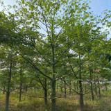 福建美人树基地 米径20公分美人树价格