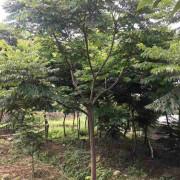 福建麻楝批发基地 16公分麻楝树苗多少钱一棵