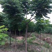 麻楝树报价 10-12分的麻楝树苗价格表