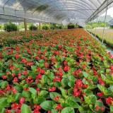 15公分大花海棠树苗供应   大花海棠批发价格