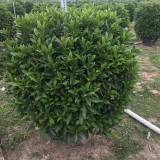 盆栽非洲茉莉价格 非洲茉莉袋苗基地出售