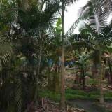 出售4米高假槟榔树 假槟榔树批发价格