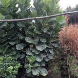 漳州哪里有卖琴叶榕的 福建琴叶榕培育基地