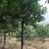 福建漳州重阳木供应 重阳木树价格表