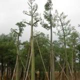 大腹木棉 美丽异木棉  美人树批发价格 基地供应