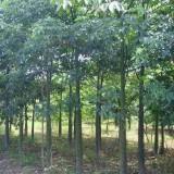 大腹木棉美人树报价   美丽异木棉 美人树批发基地