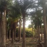 福建国王椰子批发报价 国王椰子地苗产地直供
