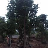 12公分仁面子厂家批发 仁面子树种植基地