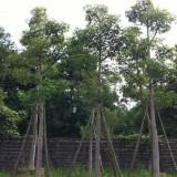 4米高美人树多少钱一棵   求购大腹木棉 美人树
