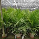 求购国王椰子树苗 福建漳州国王椰子出售