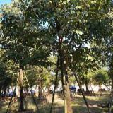 漳州秋枫基地 12公分秋枫地苗多少钱