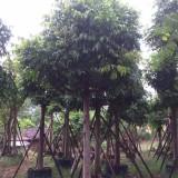 漳州仁面子树苗出售 苗圃12公分人面子价格表