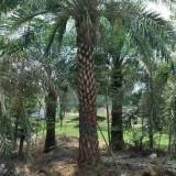 海枣树3米高价格多少 福建海枣树苗木基地现发
