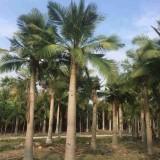国王椰子价格 2米高国王椰子树基地批发