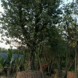 黄葛树批发供应  黄葛树多少钱一棵