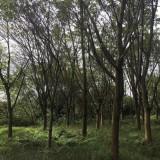 6米高黄葛树报价  福建黄葛树批发基地