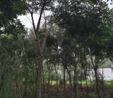 5公分黄山栾树多少钱一棵  黄山栾树批发价格