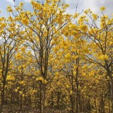 黄花风铃木多少钱一棵  绿化工用程黄花风铃木树苗