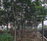 黄山栾树批发价格 黄山栾树多少钱一棵