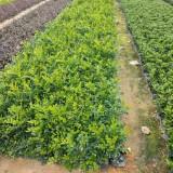 九里香绿化工程用苗    九里香小苗价格