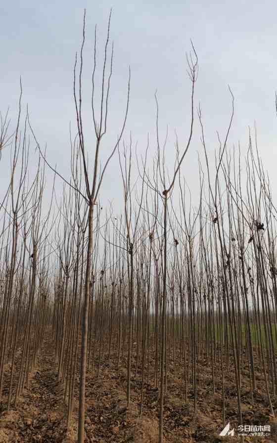 楸树苗木供应 楸树小苗价格 淮阳楸树基地