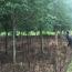 5-10-15公分红果冬青树价格表 红果冬青批发