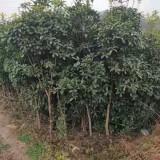 桂树基地直销   桂木树价格