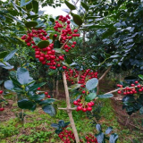 10公分红果冬青树报价 红果冬青市场价格