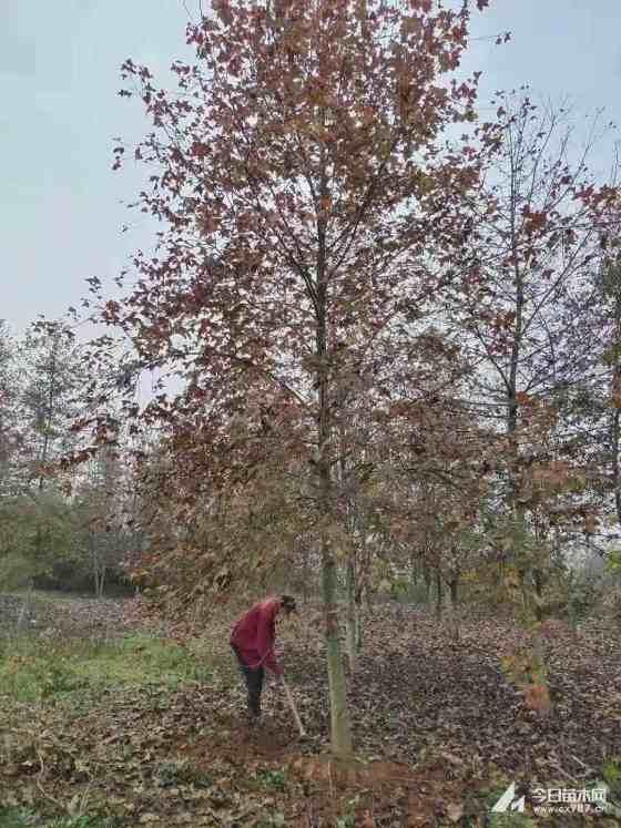 楓香樹哪里有賣?楓香樹多少錢一棵?