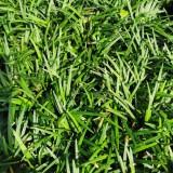 成都玉龙草价格 日本矮麦冬批发销售