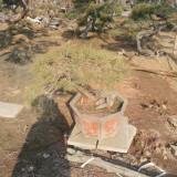 泰山景松价格 泰山景松种植批发基地