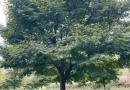 浙江鸡爪槭基地批发  12公分鸡爪槭价格