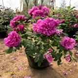四季玫瑰50公分高多少钱