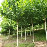 法桐树一棵多少钱