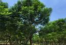 绿化工程蓝花楹价格   蓝花楹树苗批发供应