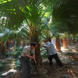 3米高蒲葵价格 福建4米蒲葵种植基地直发