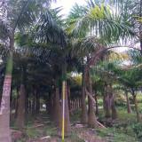 大王椰子树价格 4米5米7米大王椰子树报价