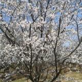 樱花树价格表 樱花批发 樱花树苗多少钱一棵